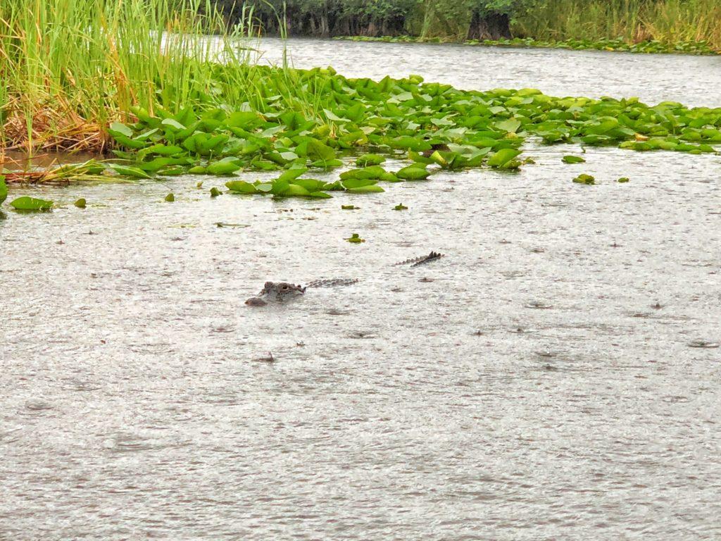 Alligators  in the sea in the Everglades in Miami USA