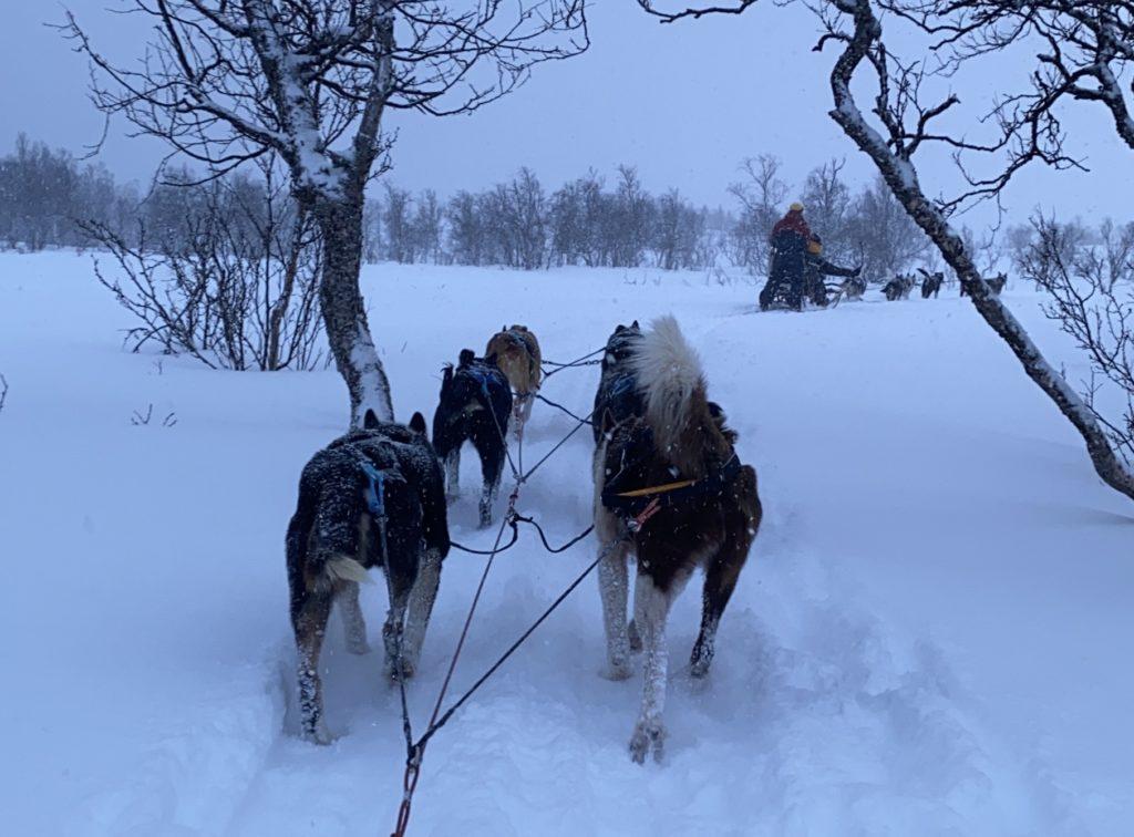 Dog sledding in the snow in Tromsø Norway